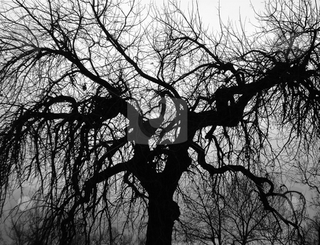 Scary Tree stock photo, A creepy tree spreads its branches out on a halloween evening. by Ben O'Neal