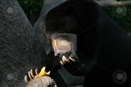 Hungry Sun Bear stock photo, A hungry Sun Bear carefully licking its paws after eating a piece of fruit. by Great Divide Photography