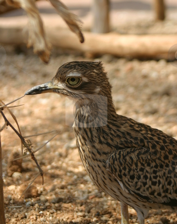 Roadrunner stock photo, A roadrunner under the shade of a small tree. by Great Divide Photography