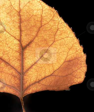 Autumn Leaf stock photo, An autumn aspen leaf, illuminated by the afternoon sun, in front of a black background. by Great Divide Photography