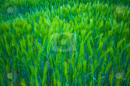 Cereal stock photo, Close up of very jung green cereal by Karin Claus