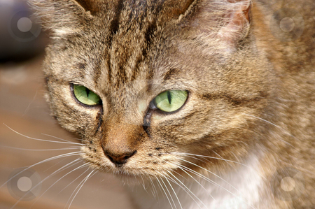 Cats eyes  stock photo, Close up of a cat face with bright green eyes by Karin Claus