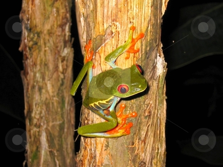 Ready to jump stock photo, Red eyed tree frog sitting on a twig ready to jump by Karin Claus