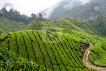 Tea field  stock photo, Asian tea plantage between mountain range with rain clouds in the back by Karin Claus