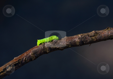 Caterpillar stock photo, Bright green caterpillar walking on a twig against a dark blue background by Karin Claus