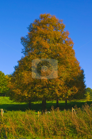 Autumn tree stock photo, Lone some standing autumn tree on a sunny day with blue sky in a pasture by Karin Claus