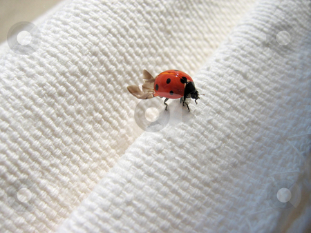 Lady bug stock photo, Ladybug on a piece of cloth by Karin Claus