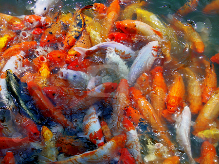 Goldfishes stock photo, bounch of goldfishes splashing on the wather by Francesco Perre