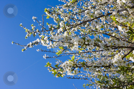 Plum Tree Blossoms stock photo, A flowering plum tree in spring by Nicholas Rjabow
