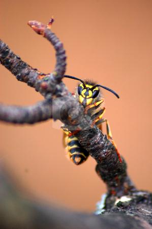 Wasp stock photo, A climbing wasp by Lars Kastilan