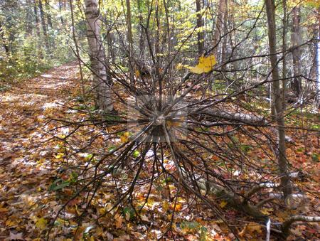 Fallen treetop stock photo,  by J.G. Byers