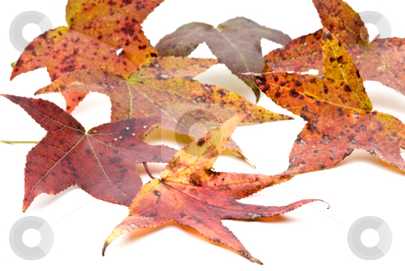 Autumn Leaves stock photo, Autumn Leaves on a white background by Vince Clements
