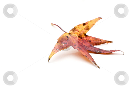 Autumn Leaf stock photo, Colorful autumn leaf on white by Vince Clements