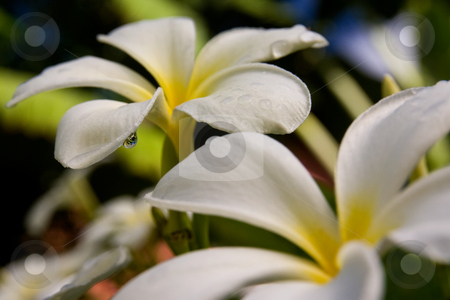 Plumeria Flowers stock photo, Plumeria flowers after a summer shower. by Marc Saegesser