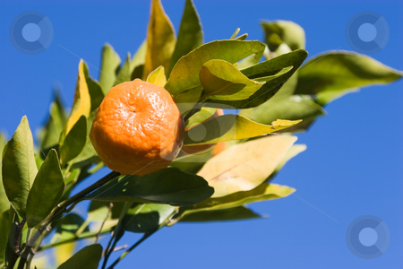 Mandarin stock photo, A mandarin - Citrus Reticulata - on a tree against a blue sky by Nicholas Rjabow