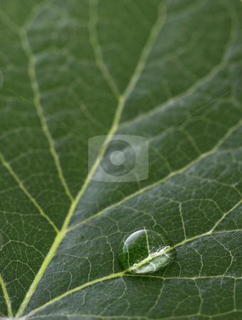 Dew drop stock photo, A macro of water drop on green leaf by Glen Jones
