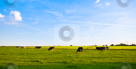Green pasture with cows stock photo, Green pasture with grazing cows and blue cloudy sky by Karin Claus