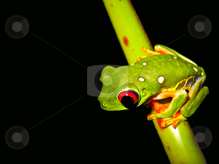 Red eye tree frog stock photo, Red eyed tree frog sitting on a twig by Karin Claus