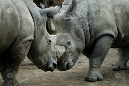 White Rhino's stock photo, Two rhino's engaged in some friendly fighting by Flemming Jacobsen