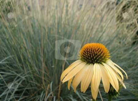 Single Yellow Flower stock photo, A single yellow flower stands tall in front of a garden of wild grass. by Ben O'Neal