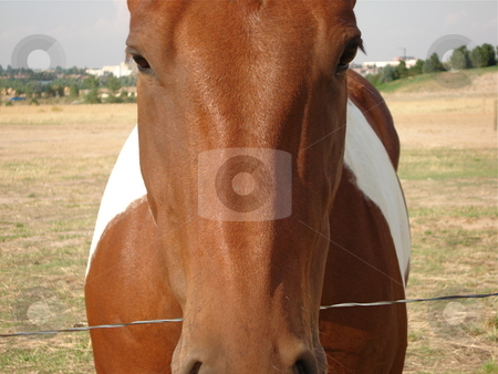 Horse Head stock photo, A brown and white horse looks directly at the camera. by Ben O'Neal