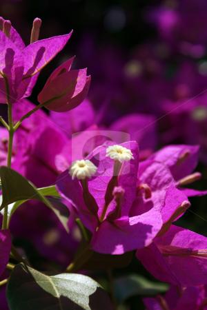 Macro Flower Pink stock photo, Macro Flower Pink by JEFERSON PEDROSA