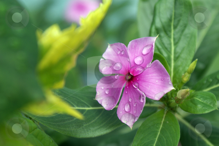 Fragility Flower Pink stock photo, Fragility Flower Pink by JEFERSON PEDROSA