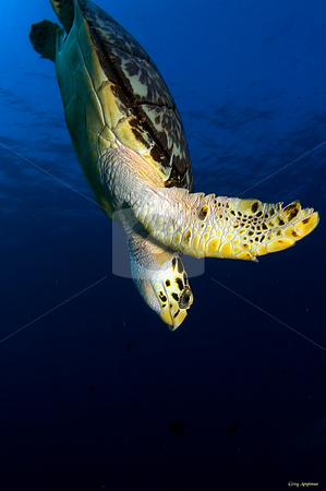 Hawks Bill  stock photo, Diving hawks bill sea turtle in Cozumel Mexico by Greg Amptman