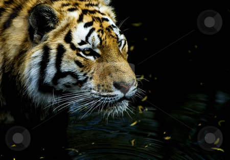 Tiger hunting stock photo, Tiger hunting in low waters in Copenhagen ZOO, Denmark by Flemming Jacobsen