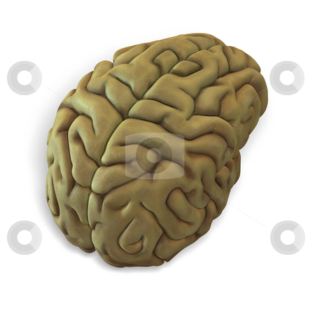 Human brain stock photo, 3d render of a human brain with clipping path by Ralf Kraft