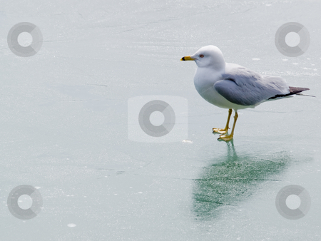 Seagull on Ice stock photo, A seagull stands on Niagara Falls, Ontario's Frozen Dufferin Island pond. by Gary W. Sherwin