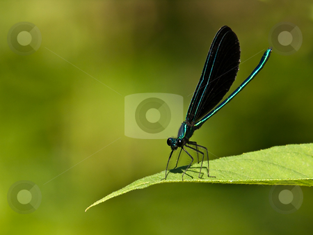 Damsel Fly stock photo, An electric blue-green damselfly alights on a leaf of white snake root to bask in the sun by Gary W. Sherwin