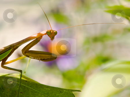 Startled Praying Mantis stock photo, A prey stalking Praying Mantis is startled by nearby movement and stares to see if the interruption is prey or predator. by Gary W. Sherwin