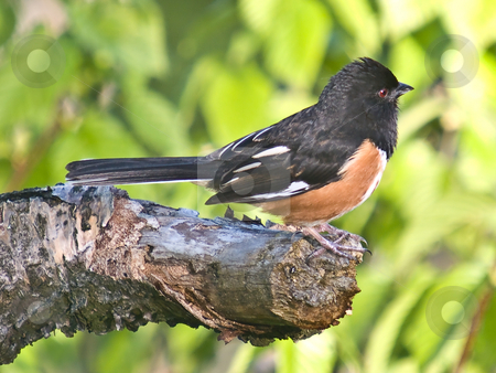 Rufous-Sided Towhee (Pipilo erythrophthalmus) stock photo, A male Rufous Towhee exhibits teritorial behavior as it stakes out its mating teritory. by Gary W. Sherwin