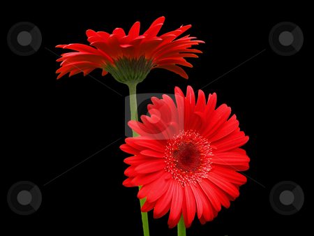 Gerbera Attention stock photo, Two red Gerbera Daisies with green stems on a black background by Gary W. Sherwin
