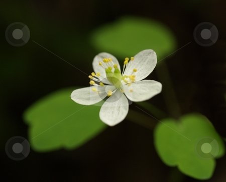 Flying Annemone stock photo, A white blossom of Rue Anemone appears to fly above soft focused green leaves in a naturally dark background by Gary W. Sherwin