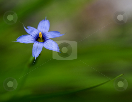 Blue Shooting Star Iris stock photo, A wind blown Blue-Eye-Grass Iris appears as a star shooting across the ground. Suitable for a card background.  This is an intentionally motion blurred shot, with only the flower and a portion of a leaf blade below it tracked by the camera by Gary W. Sherwin