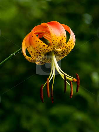 Turk's Cap Lilly (Lillium superbum) stock photo, Turk's Cap Lilly has striking inverted blossoms, with stamen that hang, balanced on such tiny threads, that they wave and tremble in the wind by Gary W. Sherwin