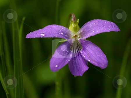 Marsh Violet (Viola cuculatta) stock photo, A flower of Viola cuculatta is wet with the morning dew. by Gary W. Sherwin
