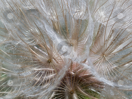 Parasail Orbs stock photo, A macro of the seed head  of an oyster or salsify plant, showing the supporting ribs and filaments by Gary W. Sherwin