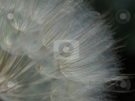 Gossamer Parachute Puff stock photo, The pappuses of Salsify or Oyster Plant, (Tragopogon porrifolius) present an amazingly fine lacey network that appears as a fluffy puff. by Gary W. Sherwin