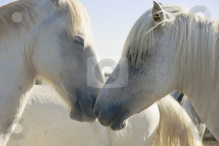 White Horses stock photo, Two light colored horses nuzzling by Angela Arenal