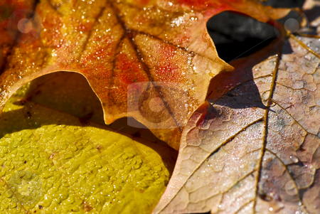 Autumn leaves macro stock photo, Macro of dewy autumn leaves of bright fall colors by Elena Elisseeva
