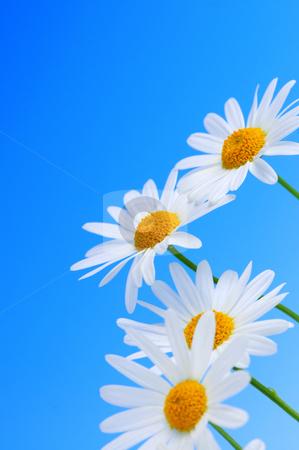 Daisy flowers on blue background stock photo, Daisy flowers in a row on light blue background by Elena Elisseeva