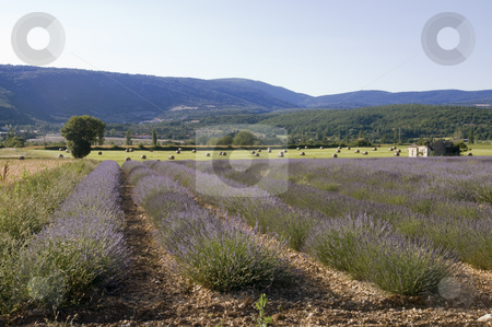 Hayfields and Lavender stock photo, Landscape from Provence, France with lavender crop in foreground and hay bales with distant hills by Angela Arenal