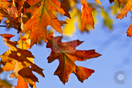 Autumn leaves stock photo, Autumn oak leaves of bright fall colors close up by Elena Elisseeva
