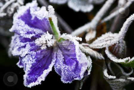 Frosty flower in late fall stock photo, Macro of frosty flower in late fall by Elena Elisseeva
