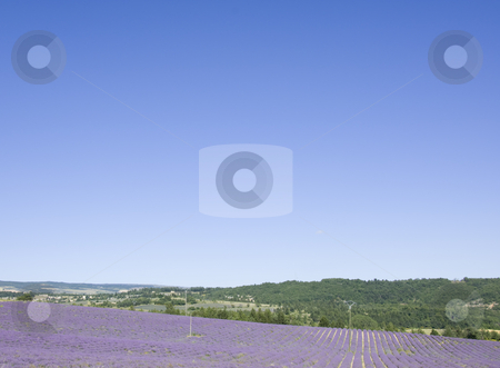 Lavender Fields in Provence stock photo, Rural Provence, France with a typical crop-lavender by Angela Arenal