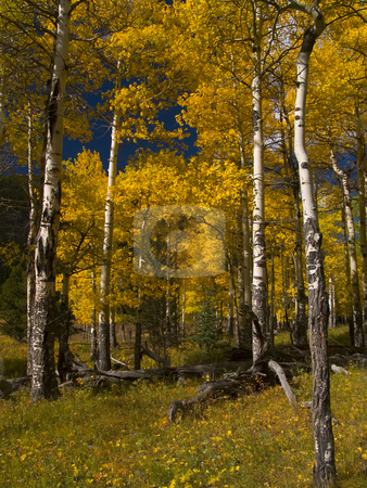 Into the Aspens stock photo, Colorado aspen trees in Rocky Mountain National Park (near the Endovalley picnic area). by John McLaird