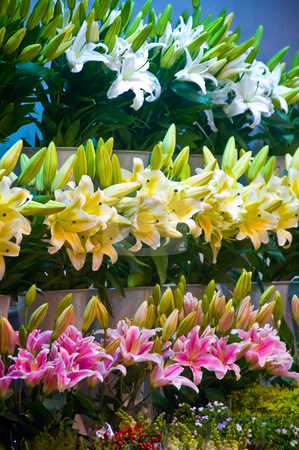 Flowers market stock photo, Colorfull fresh lily flowers at the flowers market by Francesco Perre